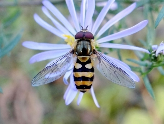this is a hover fly
